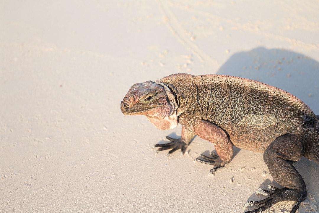 iguana-exuma-1
