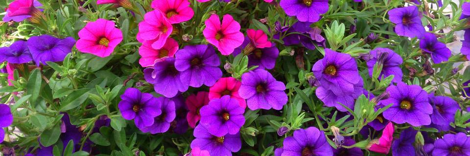 flori-frumoase